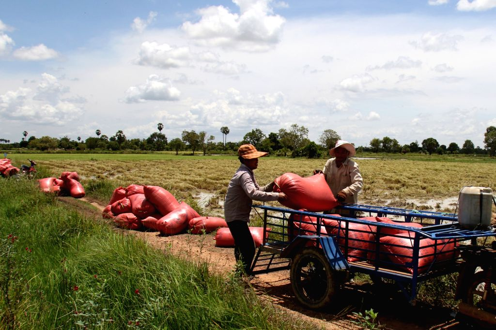 PHNOM PENH, Sept. 16, 2016 - Farmers load sacks of paddy rice onto the cart in Kandal province, Cambodia, Sept. 16, 2016. The Cambodian government-backed Rural Development Bank (RDB) will provide a ...