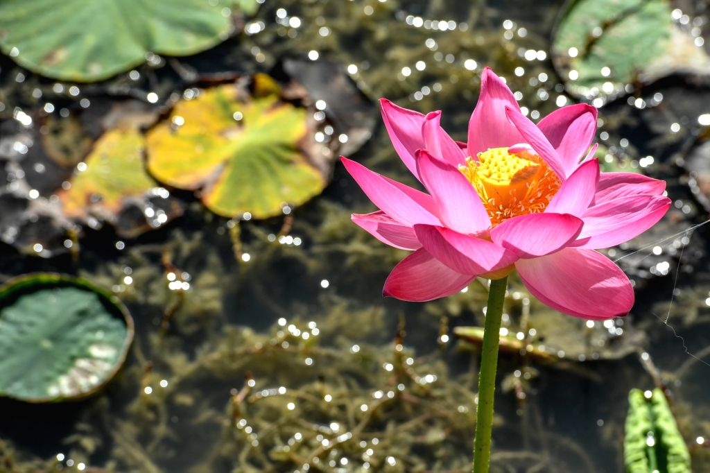 Photo taken on Aug. 12, 2020 shows a lotus flower at a national wetland park in Zhenlai County of Baicheng, northeast China's Jilin Province.