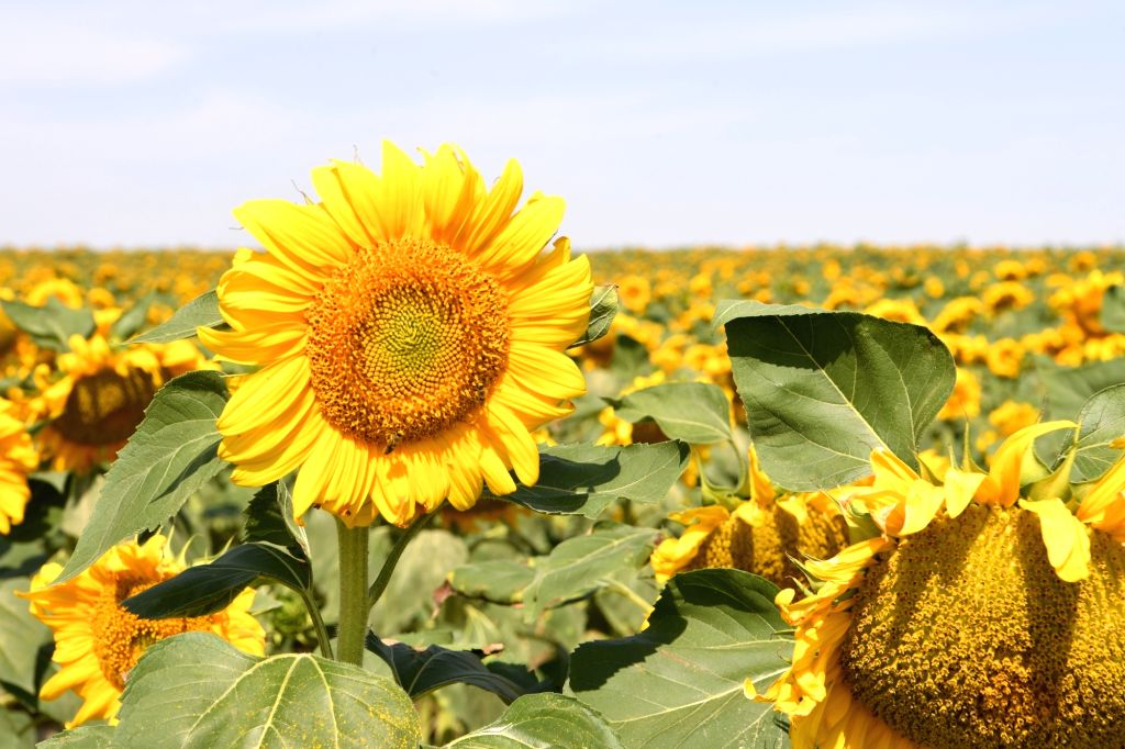 Photo taken on Aug. 13, 2020 shows blooming sunflowers in Sitan Township of Jingtai County in Baiyin City, northwest China's Gansu Province. Sitan Township has a ...