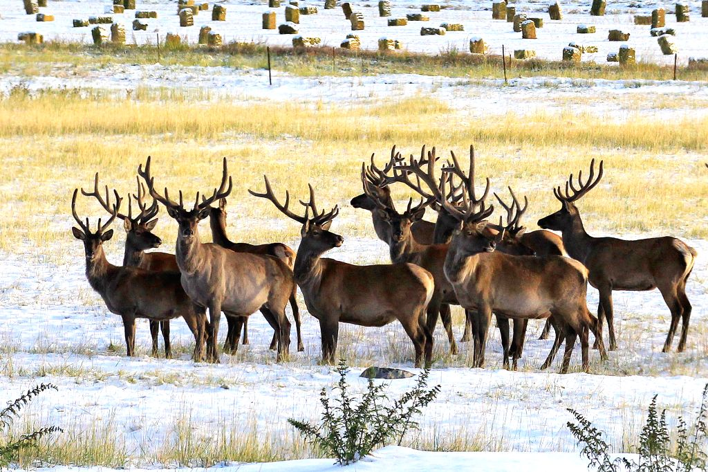 Photo taken on Aug.16, 2015 shows red deers on a grassland in northern Hami of Xinjiang  Uygur Autonomous Region. The mountainous Tianshan region saw an early snowfall ...