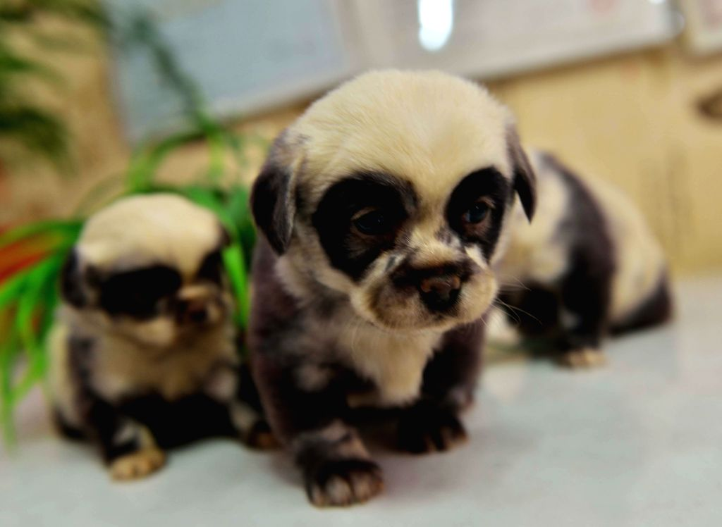 : Photo taken on Feb. 22, 2014 shows three puppies looking like pandas in Yancheng City, east China's Jiangsu Province. A dog with dark fur gave birth to 6 ...