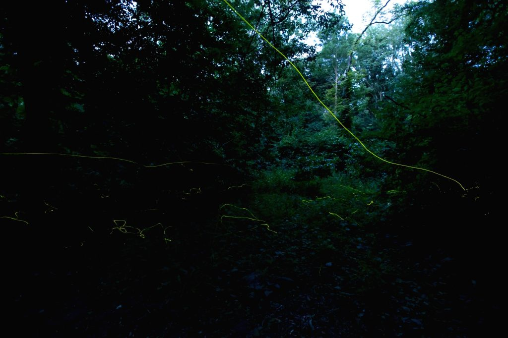 Photo taken with long exposure on June 22, 2017 shows fireflies drawing lines in the Alcsutdoboz Arboretum in Alcsutdoboz near Budapest, Hungary.