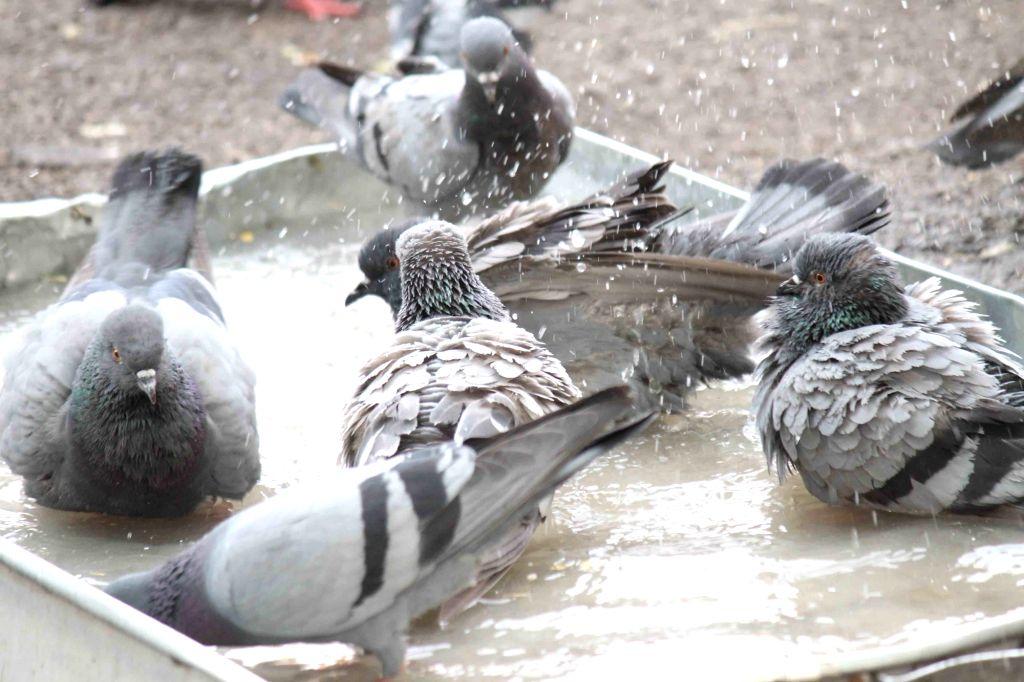 Pigeons. (File Photo: IANS)