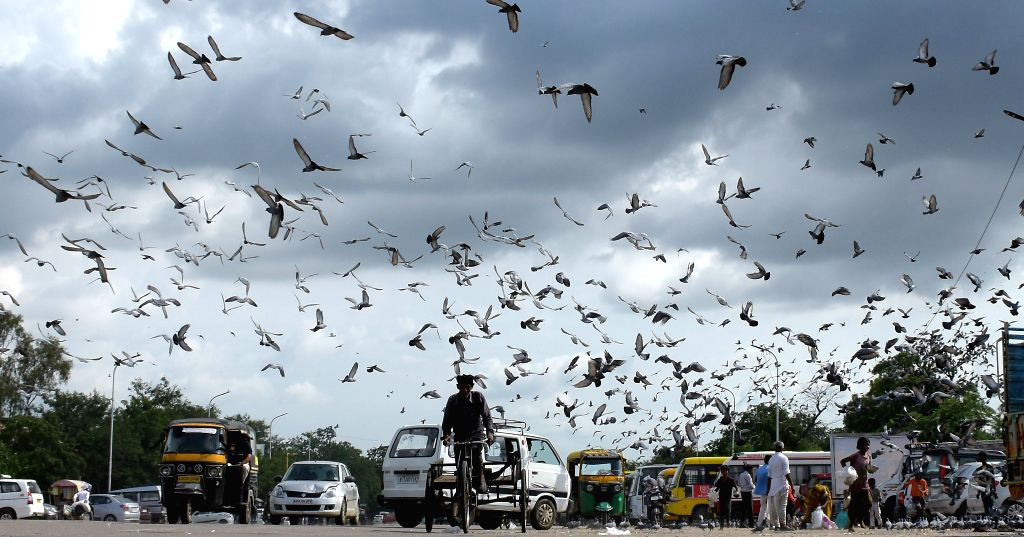 Pigeons fly in Jaipur sky on Aug 16, 2015.