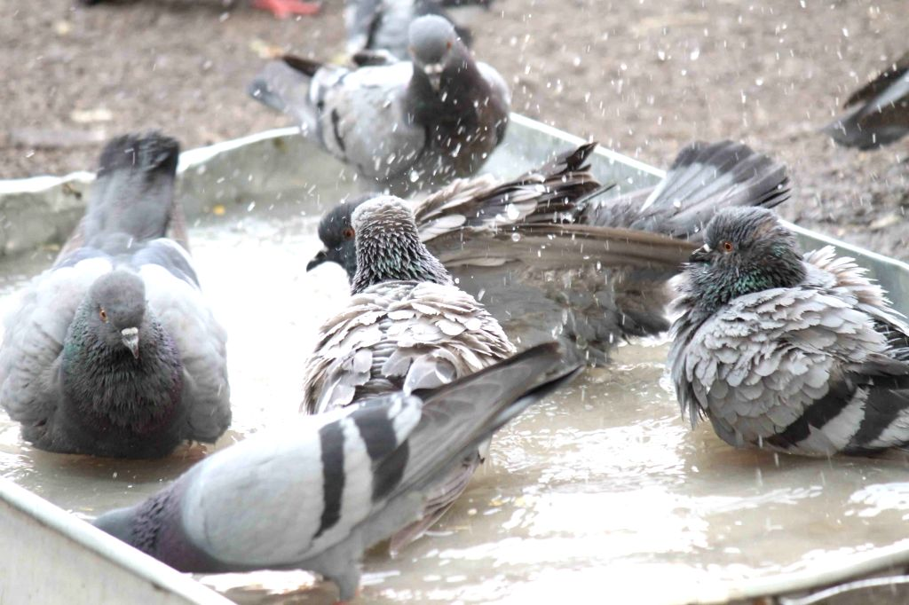 Pigeons sitting in water to beat the heat in Hyderabad on April 20, 2016.