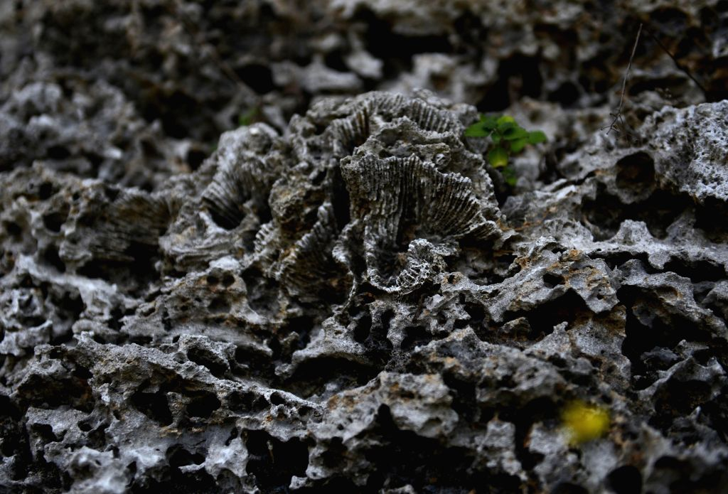 Photo taken on April 21, 2014 shows coral fossil of Liouciou Township in Pingtung County, southeast China's Taiwan. Liouciou township, which locates 8-9 nautical .
