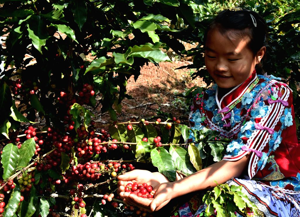 PU'Zhang Guangying, a girl of Miao ethnic group, helps her mother pick fresh coffee fruits in a plantation in Pu'er, southwest China's Yunnan Province, Jan. 12, 2015. ...