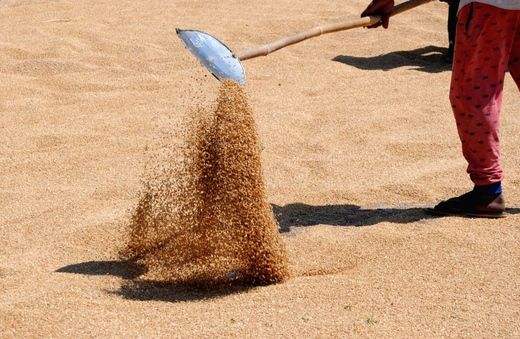 Punjab procures 250% more wheat amid pand