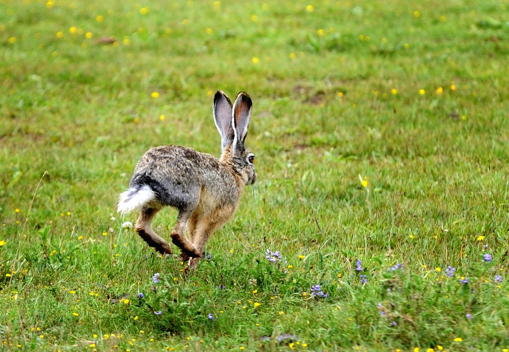 A hare runs on the grassland in Zuogong County of Qamdo Prefecture, southwest China's Tibet Autonomous Region, July 11, 2014.