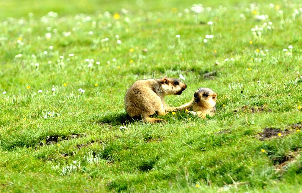 Marmots are seen on the grassland in Zuogong County of Qamdo Prefecture, southwest China's Tibet Autonomous Region, July 10, 2014.
