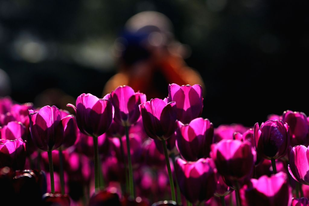 Tulip flowers are in blossom at the 2014 Qingdao International Horticultural Exposition Park in Qingdao, a coastal city of east China's Shandong Province, April ...