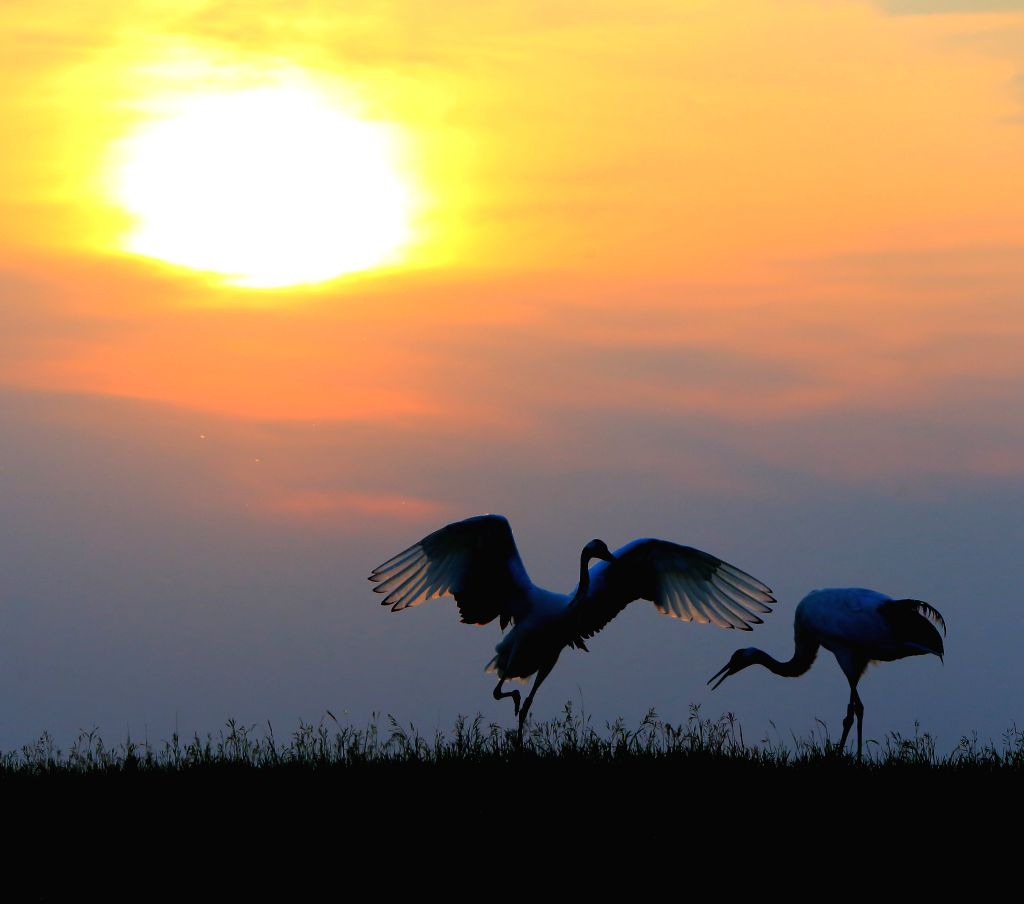 Red-crowned cranes are seen at the Zhalong Natural Reserve in Qiqihar, northeast China's Heilongjiang Province, June 28, 2014.