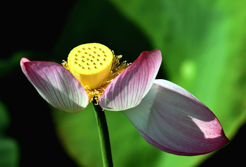 QUJING, Aug. 21, 2017 - A lotus flower is seen at the Kirin ecological park in Qujing City, southwest China's Yunnan Province, Aug. 20, 2017. The beautiful lotus pond in the park attracts tourists ...