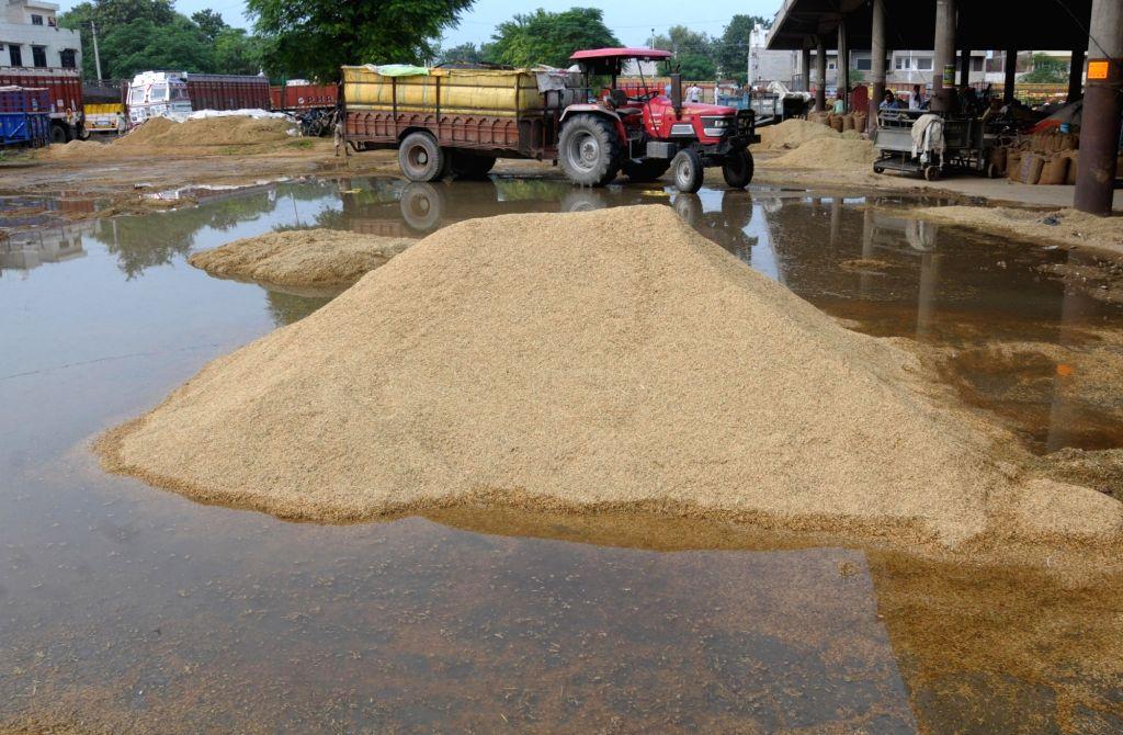 Rains damage freshly harvested food grains, at a grain market, in Amritsar on Sep 27, 2019.