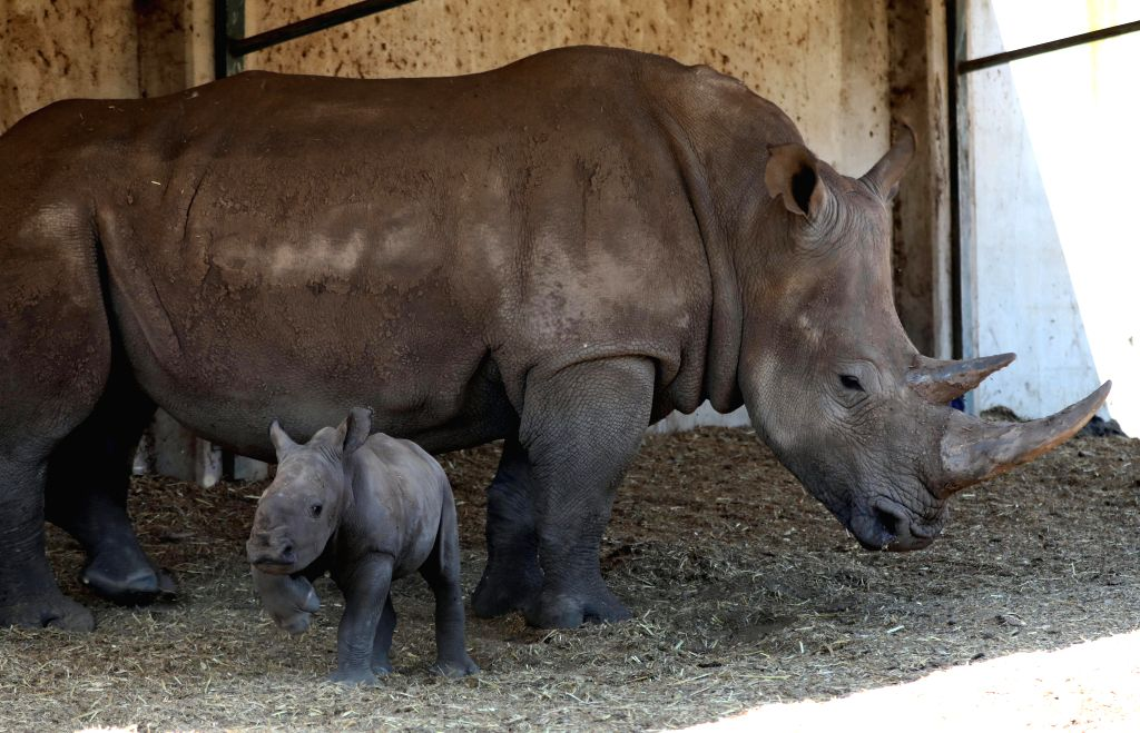 RAMAT GAN, April 4, 2019 - The newly born female southern white rhinoceros and its mother are seen at the Safari Park in Ramat Gan, Israel, April 3, 2019.