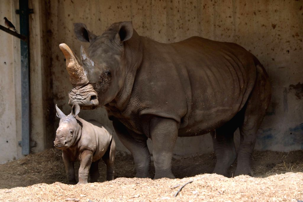 RAMAT GAN, Sept. 17, 2018 - A three-week-old white rhinoceros stands next to her mother Tanda at the Ramat Gan Safari Park, an open-air zoo near the Israeli coastal city of Tel Aviv, on Sept. 17, ...