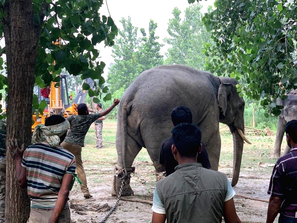 Rampur: Two wild tuskers, stranded in a town in Uttar Pradesh's Rohilkhand region who had sent forest officials on a wild goose chase for the past almost three and a half weeks, have finally been tranquilized. After the crucial tranquilisation carrie