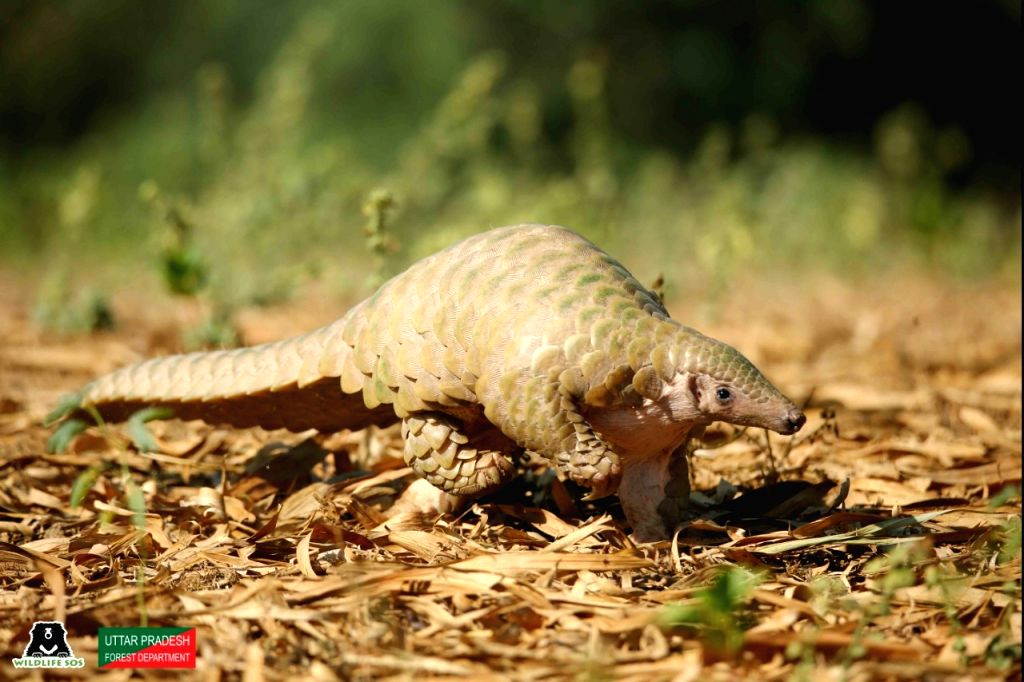 Rare pangolin rescued near Agra.