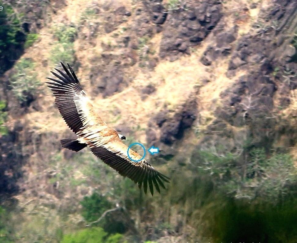 Rare sighting of rescued King Vulture thrills Maha bird-lovers