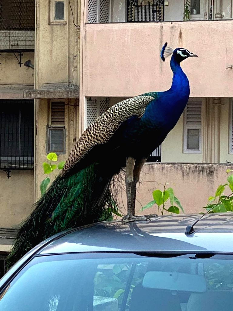 Rarely seen before, half a dozen Peacocks suddenly strutted out at the Khareghat Colony in South Mumbai, during the current lockdown, amazing locals, on Apr 1, 2020.