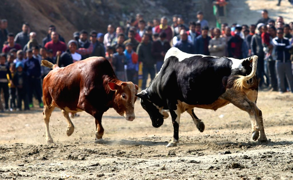 RASUWA, Jan. 14, 2017 - Local villagers watch bull fight on the day of Maghe Sankranti in Betrawati, Nepal, Jan. 14, 2017. The bull fight festival is organized every year on the day of Maghe ...