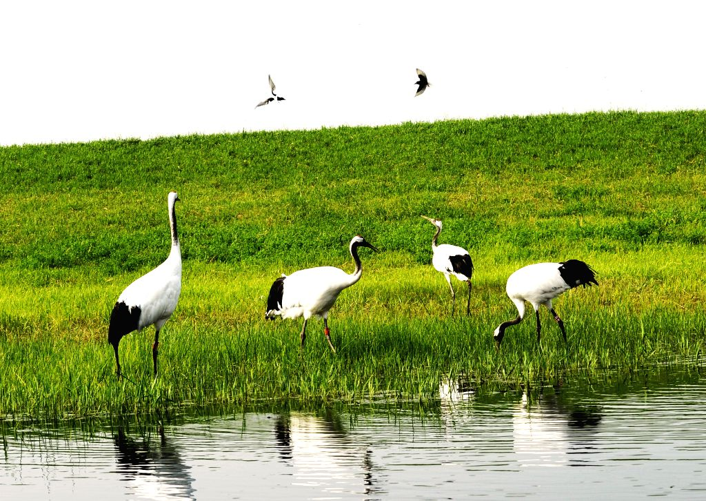 Red-crowned cranes are seen at the Zhalong National Nature Reserve in Qiqihar, northeast China's Heilongjiang Province, June 25, 2015.   (Xinhua/Liu Yongzhen) ...