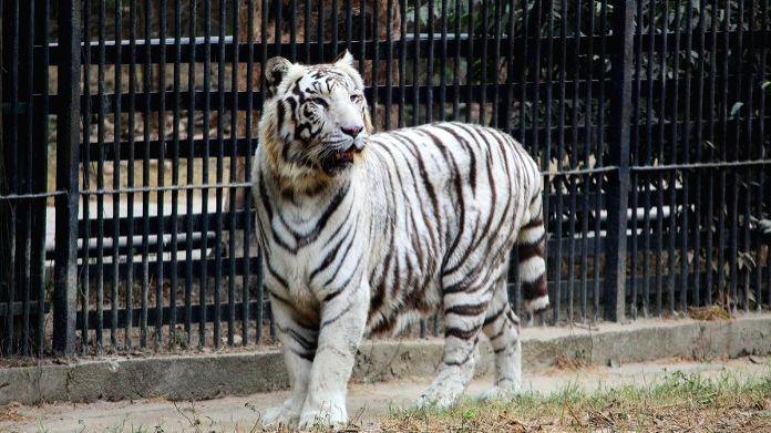 Renal failure, not corona led to death of Delhi zoo's white tigress