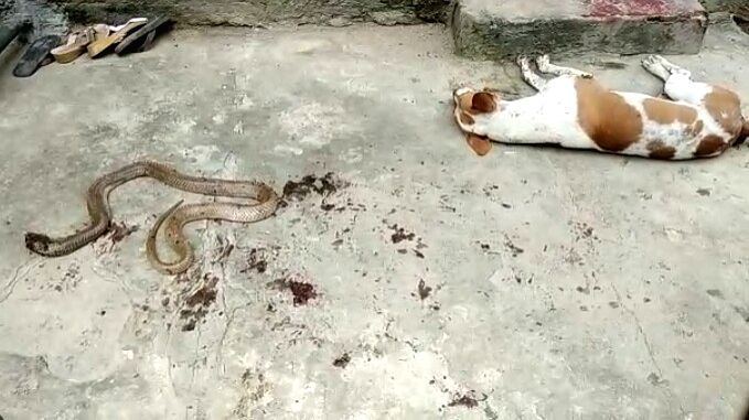 Reportedly, in an incident, a dog laid his life for the safety of its owner where he fought a venomous snake and did not let it inside the house of its owner lived.