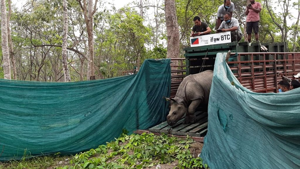 Rescued 3 rhino calves successfully released to Manas Tiger Reserve in Assam.