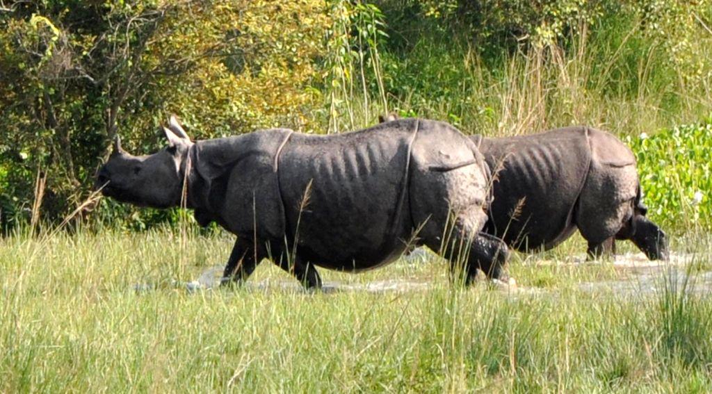 Rhinoceroses seen at Pobitora Wildlife Sanctuary in Assam's Morigaon on Sept 17, 2018.