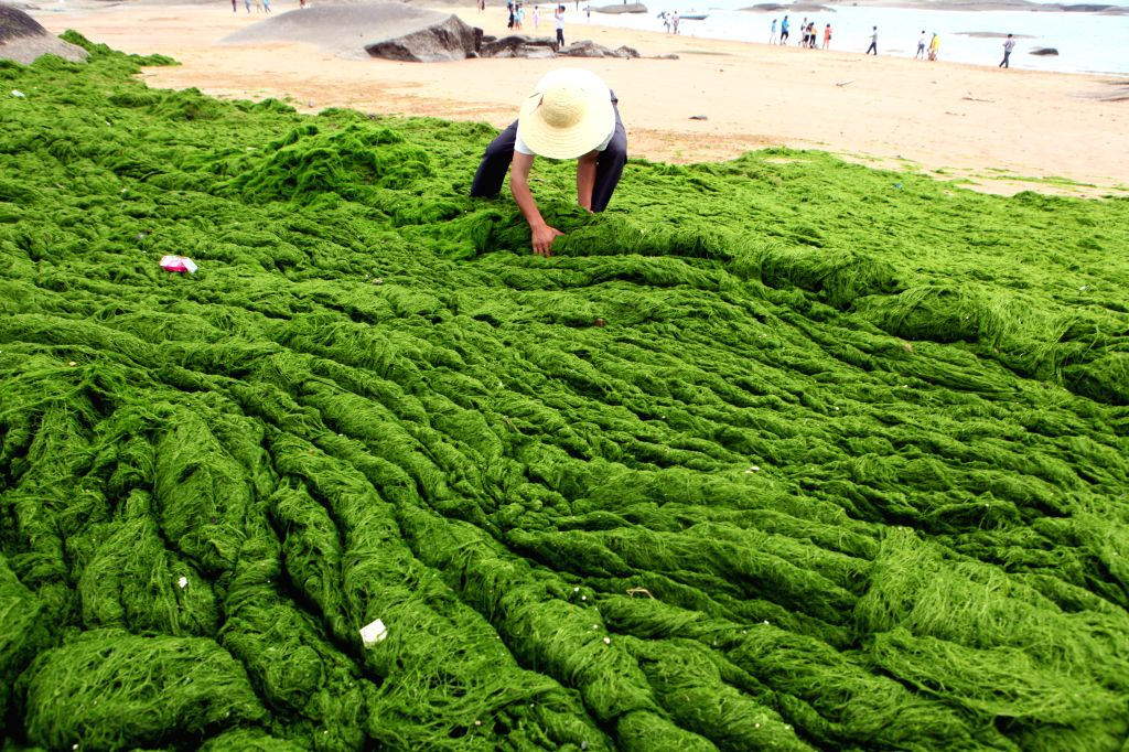 """RIZHAO, June 10, 2014 (Xinhua) -- A man clears up green algae on the beach in Rizhao City, east China's Shandong Province, June 10, 2014. An algae bloom, or """"green tide,"""" has broken out in waters off China's east coastline. (Xinhua/IANS) (ry)"""