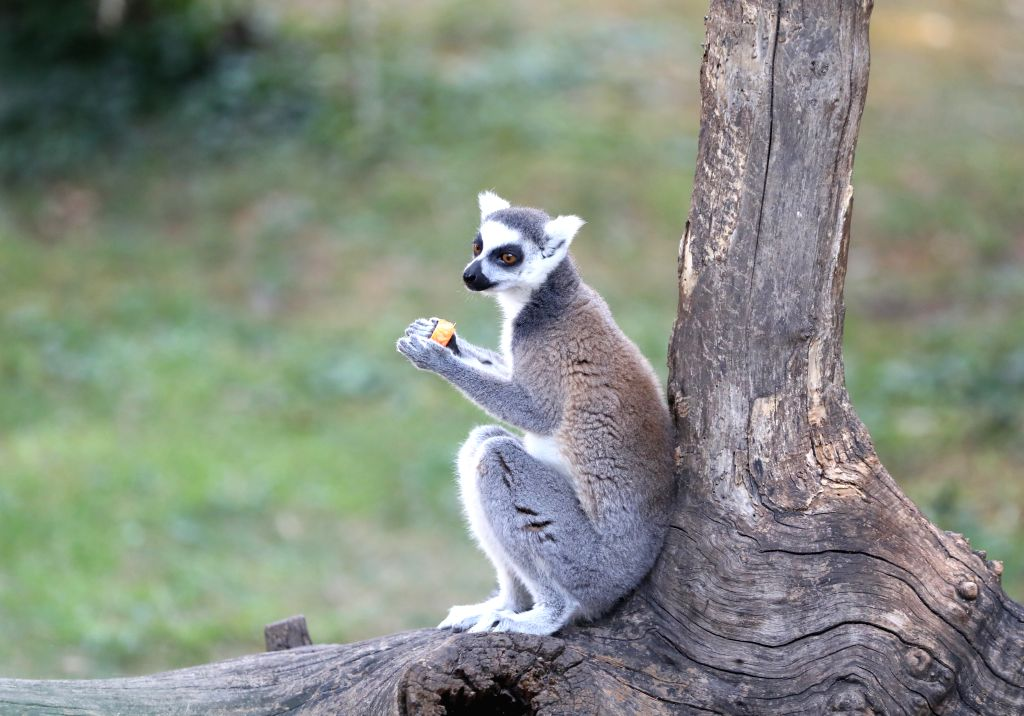 ROME, July 25, 2019 - A ring-tailed lemur eats iced fruits at the Bioparco zoo in Rome, Italy, July 25, 2019. Measures have been taken by the zoo to help its animals fend off the summer heatwave.