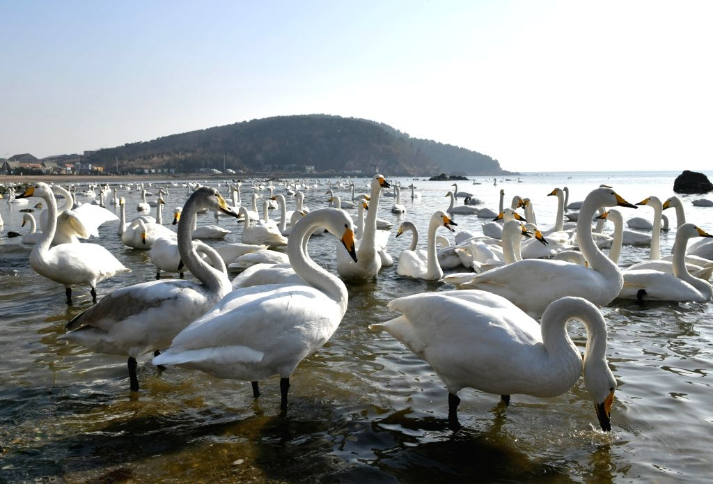 RONGCHENG, Jan. 24, 2019 - Swans rest in the bay at Yandunjiao Village in Rongcheng City, east China's Shandong Province, Jan. 23, 2019. Around 1,000 swans fly from Siberia to the Yandunjiao bay to ...