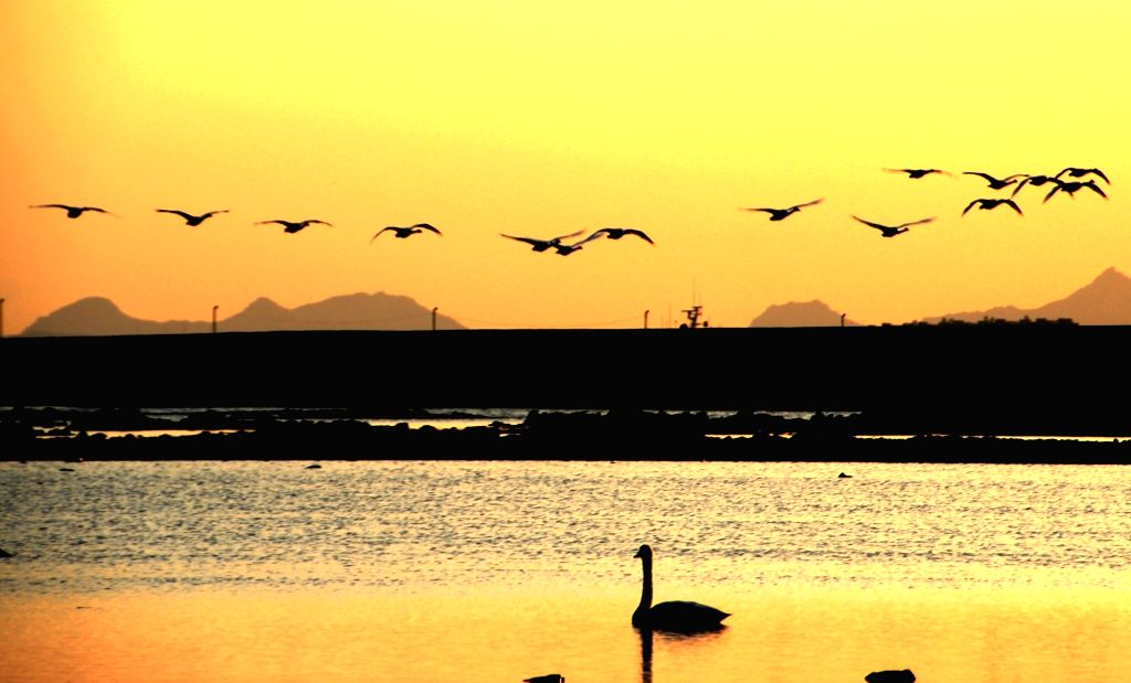 RONGCHENG, Oct. 30, 2016 - Whooper swans fly over the seashore against the sunset in Lijiang Port of Rongcheng City, east China's Shandong Province, Oct. 29, 2016.