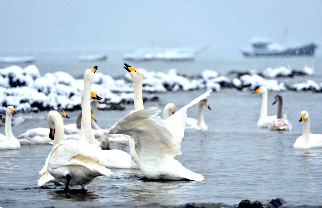 Swans play as snow falls in Yandunjiao Swan Lake after a snowfall in Rongcheng, east China's Shandong Province, Dec. 5, 2014. The Swan Lake is a major part of the Rongcheng Nature Reserve .