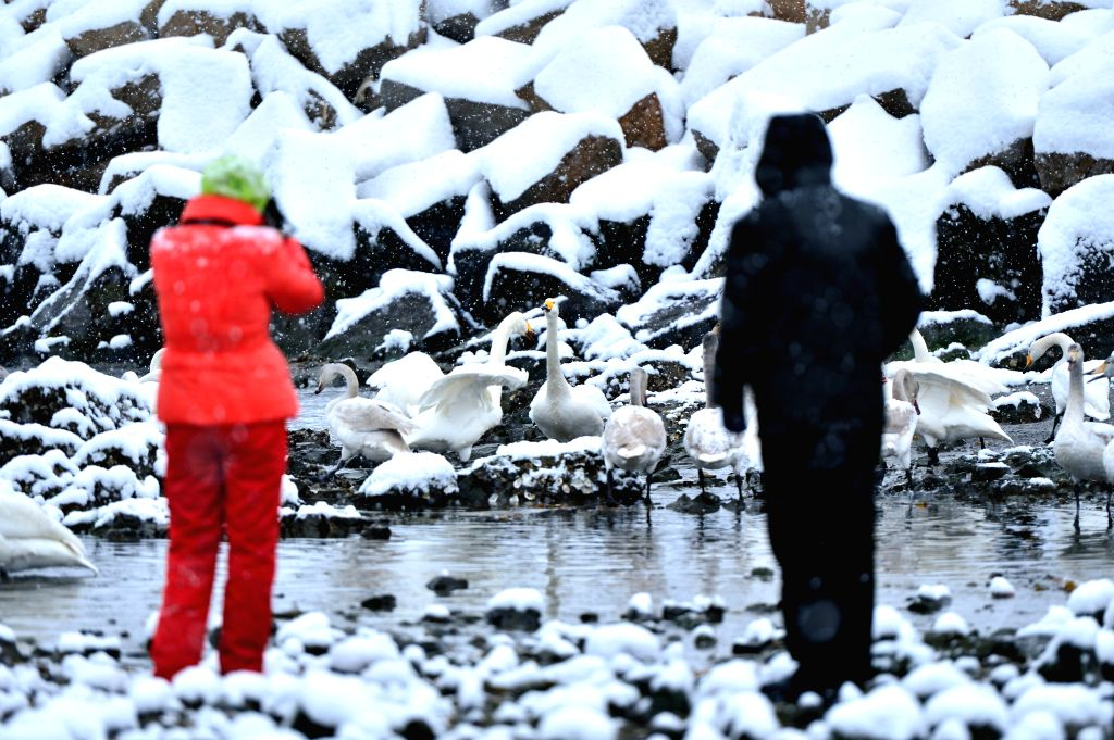 Tourists view swans in Yandunjiao Swan Lake in Rongcheng, east China's Shandong Province, Dec. 5, 2014. The Swan Lake is a major part of the Rongcheng Nature Reserve for Whooper Swans and .