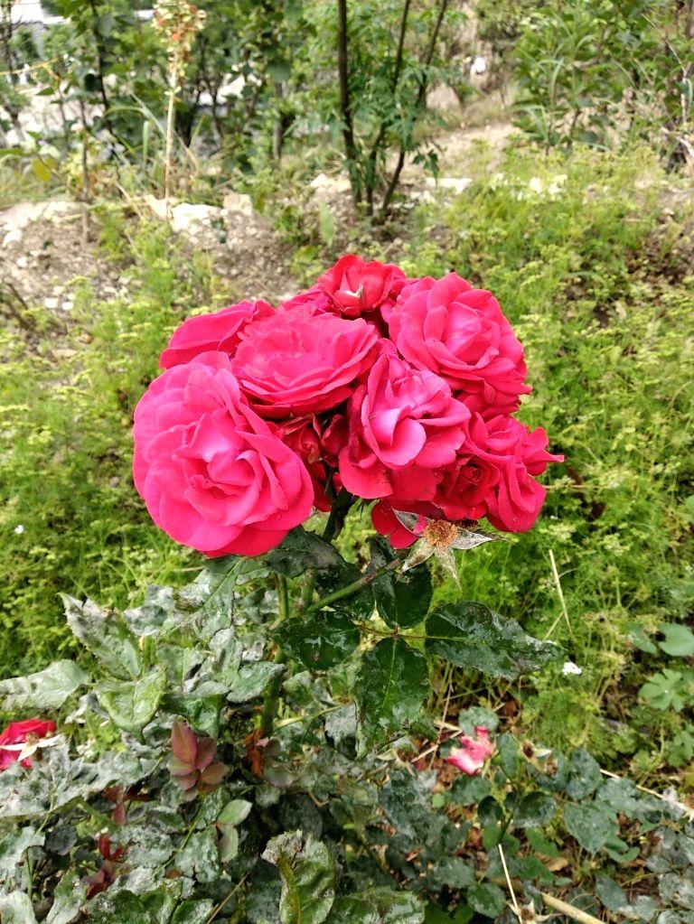 Roses. (File Photo: IANS)