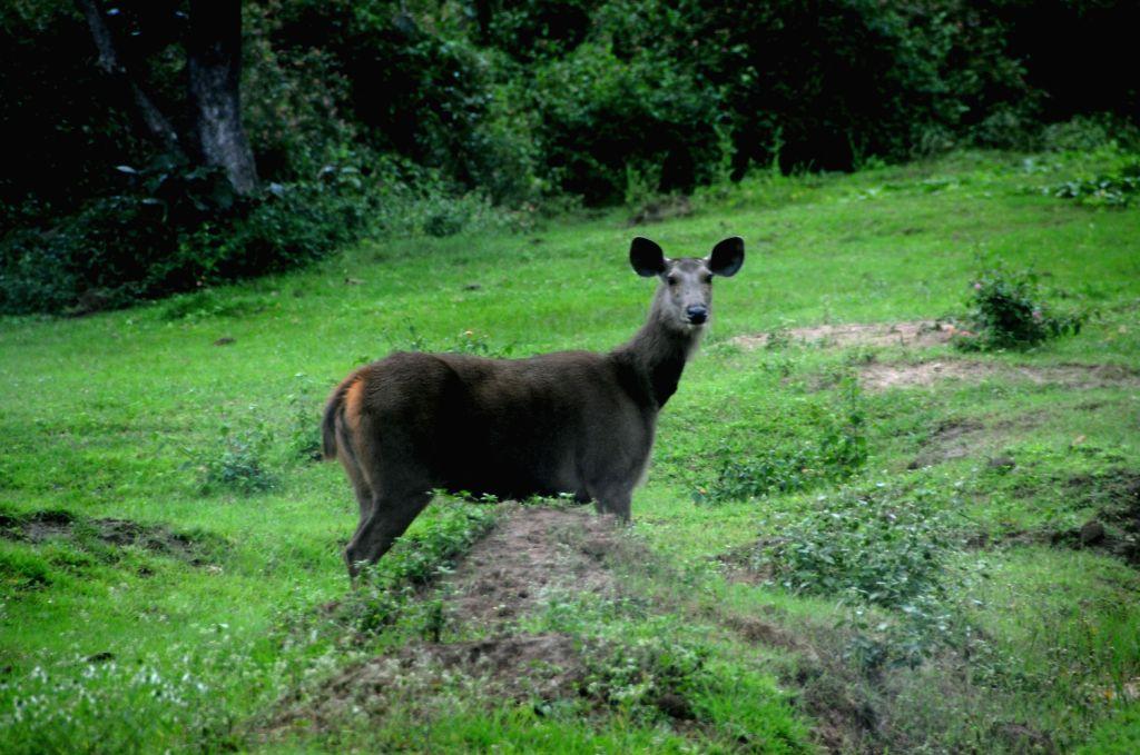 Sambar deers play at Bandeepura National Park in Bandeepura on August 18, 2013. (Photo::: IANS)