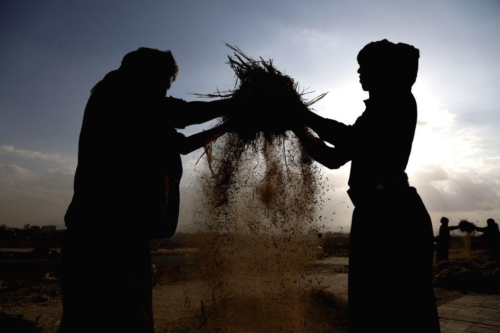 SANAA, Nov. 15, 2019 - Yemeni farmers winnow barley on the outskirts of Sanaa, Yemen, on Nov. 14, 2019. November is the harvest season for barley in Yemen.