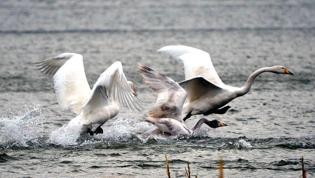 Whooper swans are seen at a wetland in Sanmenxia City, central China's Henan Province, Dec. 15, 2014.
