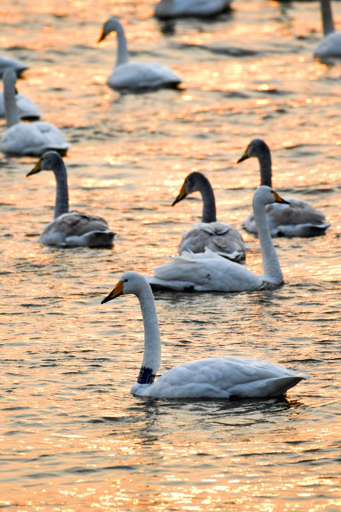 SANMENXIA, Jan. 14, 2017 - Swans swim on the lake at Sanmenxia Swan Lake Wetland Park in Sanmenxia City, central China's Henan Province, Jan. 14, 2017. Migratory swans came from the Siberia region to ...