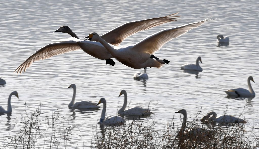 SANMENXIA, Nov. 24, 2018 - White swans are seen at the Yellow River wetland in Sanmenxia, central China's Henan Province, Nov. 22, 2018. White swans have flown from Siberia to the Yellow River ...