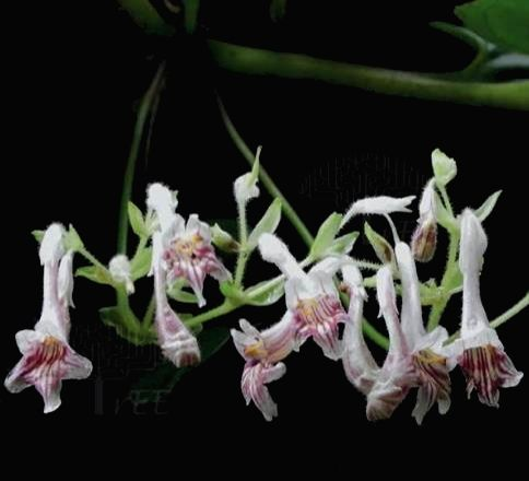 Scientists discover new species of African Violet plant from Mizoram.