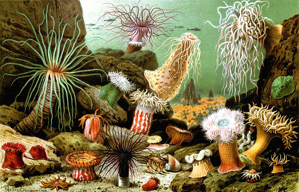 Sea Anemones: A natural curiousity or holding hidden secrets for human health.