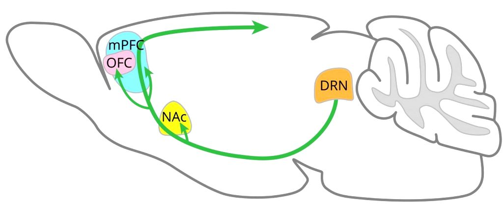 Serotonin-releasing neurons (green arrows) from the dorsal raphe nucleus (DRN) penetrate many other areas of the brain, including the nucleus accumbens (NAc), orbitofrontal cortex (OFC) and medial prefrontal cortex (mPFC). Photo: OIST