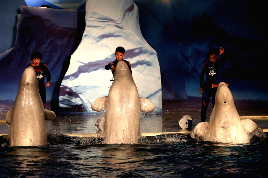 Three Beluga Whales from Russia provide a show for audience at the Shanghai Chang Feng Ocean World in east China's Shanghai, Aug. 16, 2013.  (Xinhua/Yang