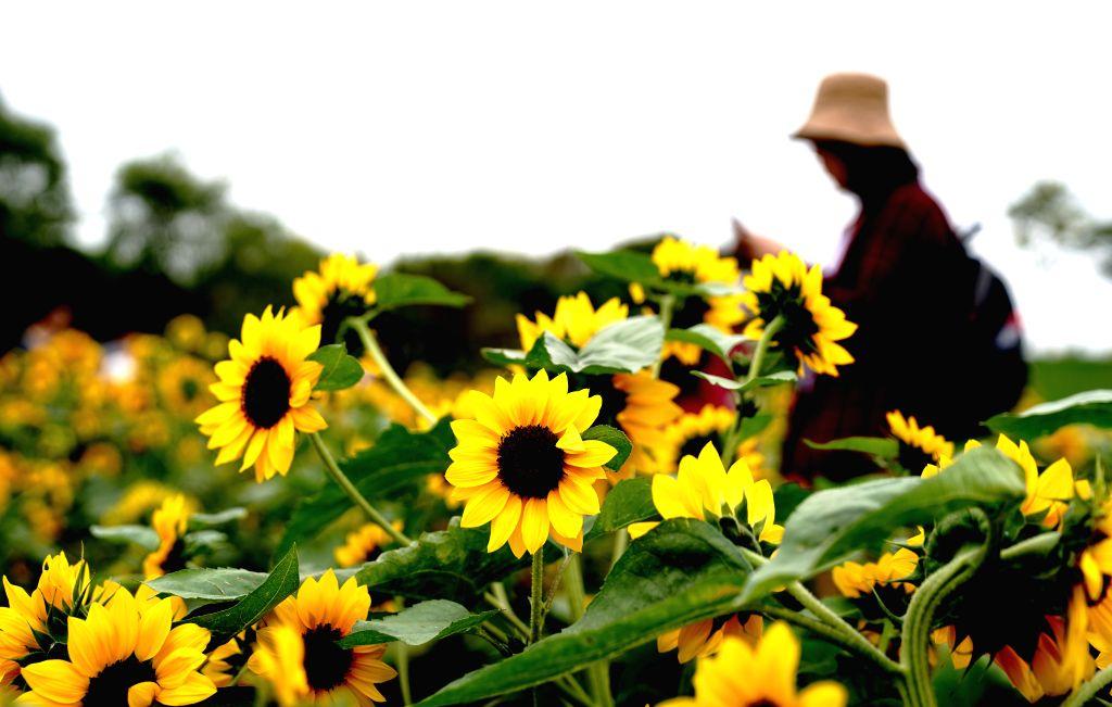SHANGHAI, Oct. 7, 2019 - A tourist views sunflowers at Shanghai Chenshan Botanical Garden in east China's Shanghai, Oct. 6, 2019.