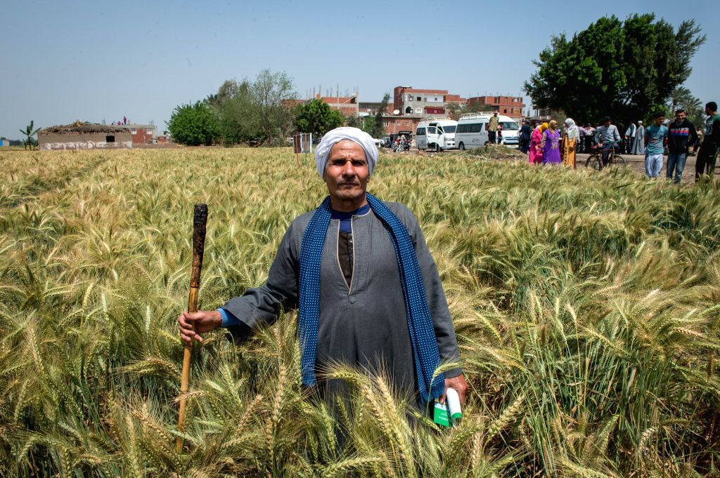 SHARQIYA, April 12, 2016 - A farmer from the south of Egypt visits the wheat field adopting raised bed farming technology in Sharqiya Governorate, 60 km north of Cairo, Egypt, April 11, 2016. ...