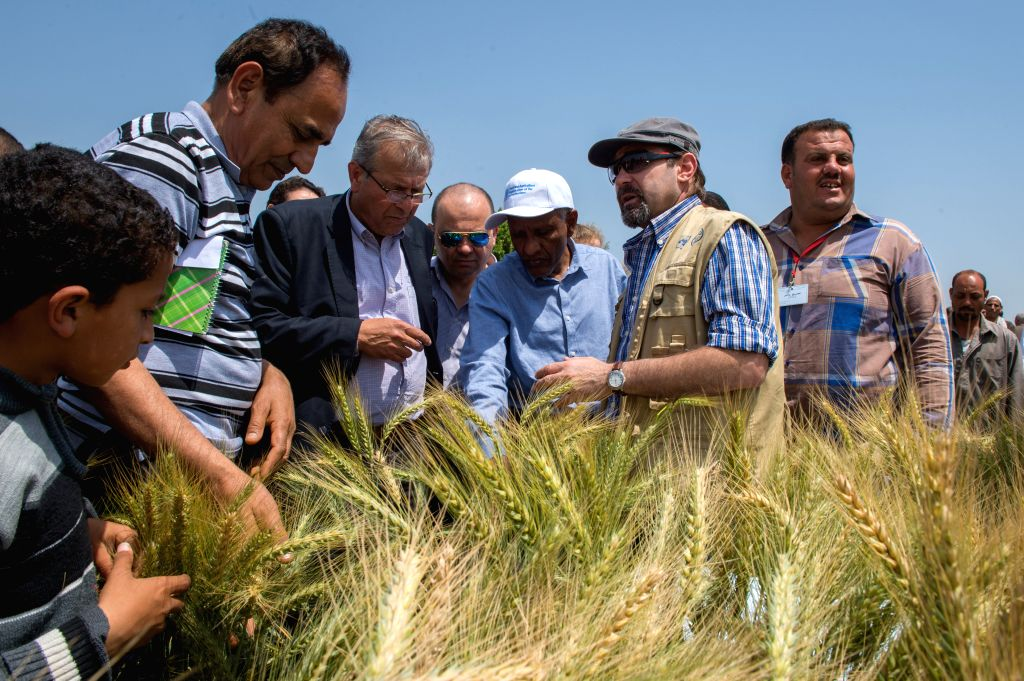 SHARQIYA, April 12, 2016 - Officials from the Food and Agriculture Organization of the United Nations (FAO) examine the growth of wheat in the farmland adopting raised bed farming technology in ...