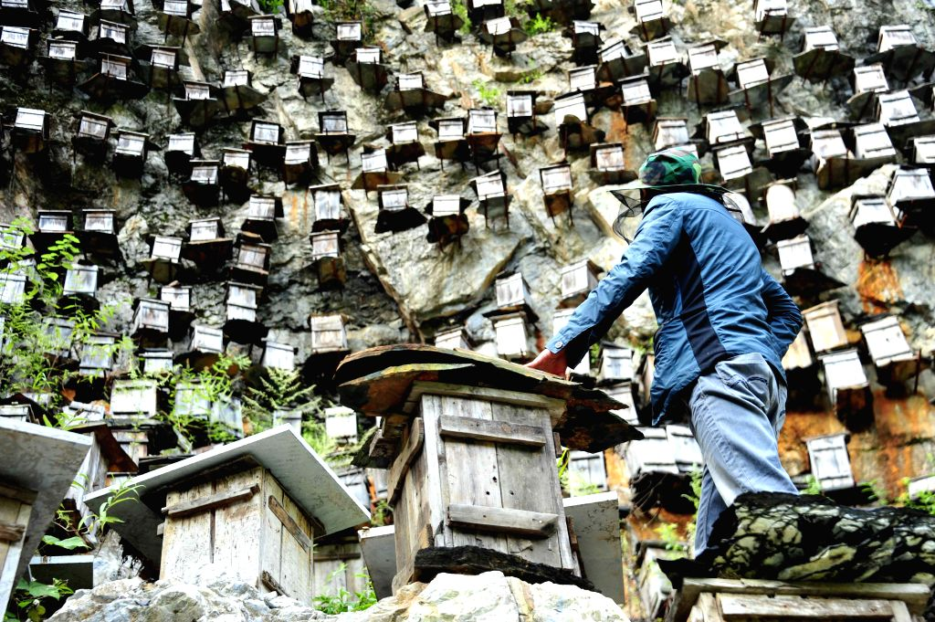 A beekeeper checks beehives in Shennongjia nature reserve, in central China's Hubei province, Sept. 6, 2014.